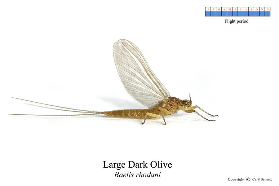 Large Dark Olive