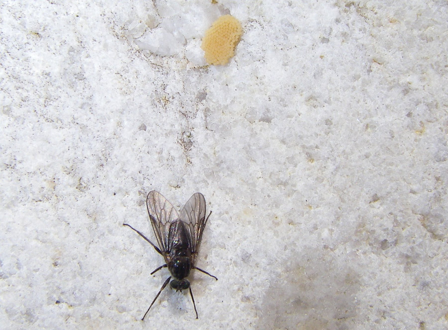 4777 Black fly laying eggs