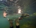 salmon_IMG_0988