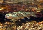 underwater trout (5)