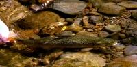 Willow stream, Balloch (15)