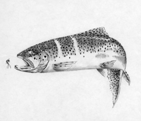 trout-sketch-private-collection.jpg