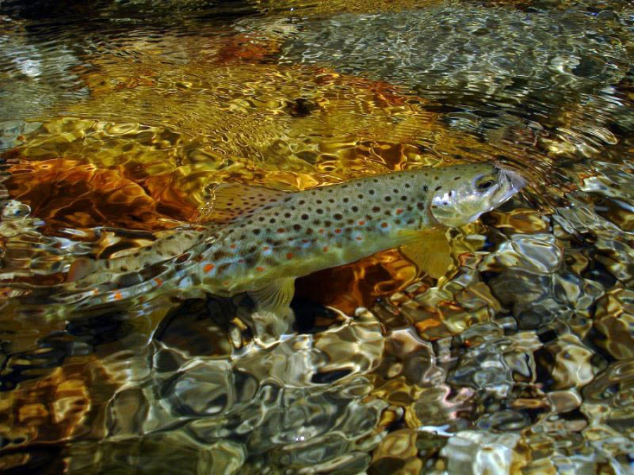 Witels brown trout