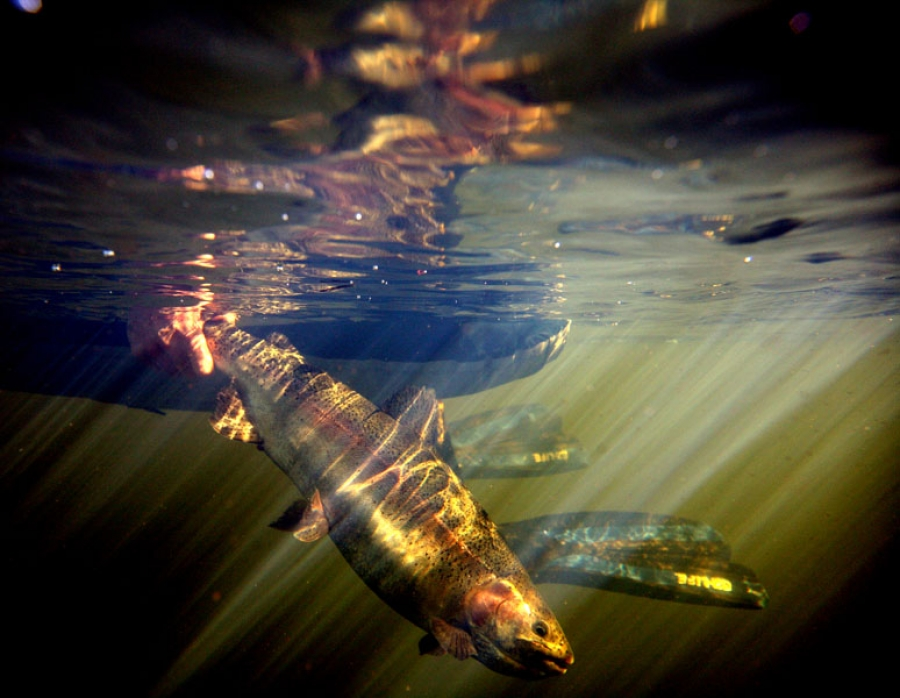 Stillwater trout beneath a tube