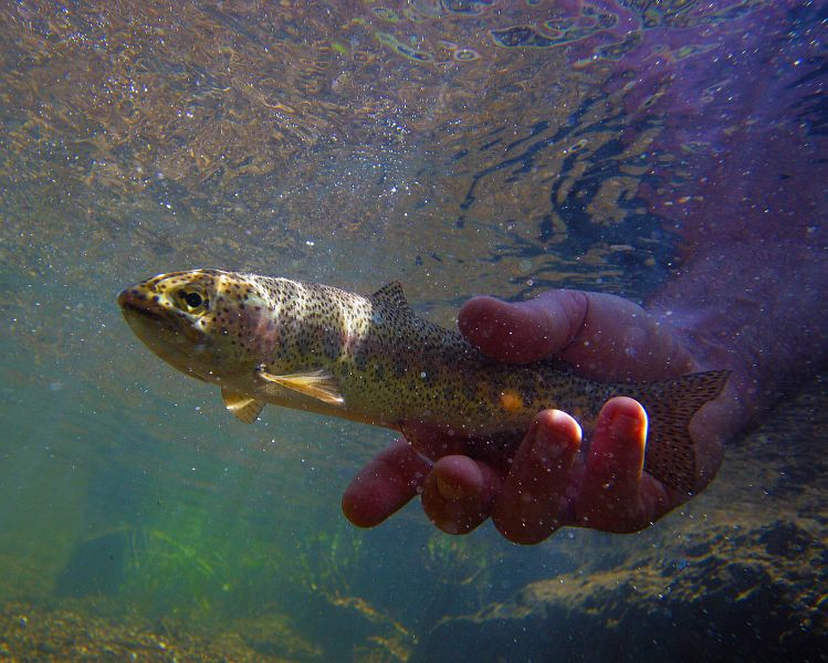 Releasing_a_Gateshead_rainbow_trout